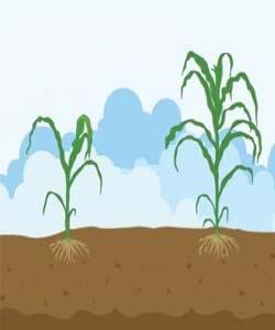Desarrollo inicial cereales