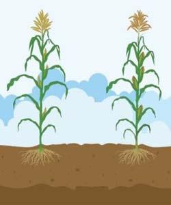 Formación de grano cereal