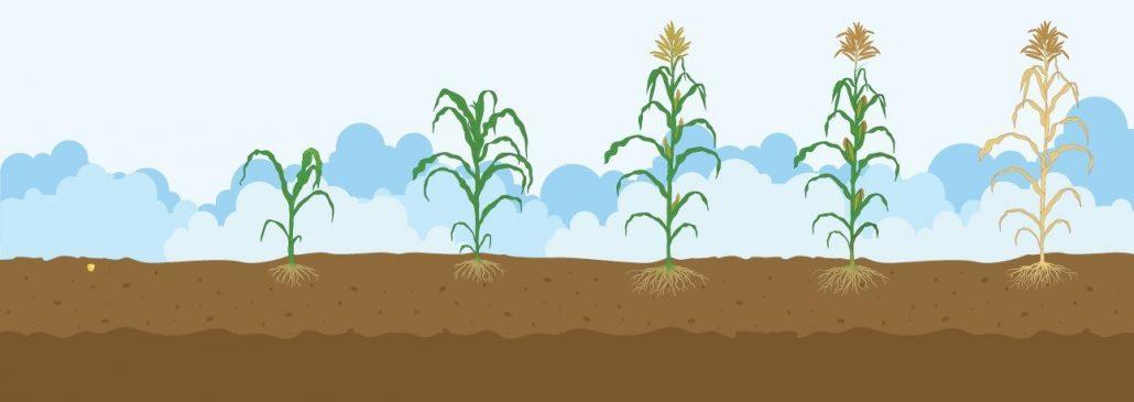 Guía desarrollo cereales