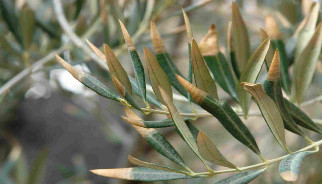 Enfermedades olivar