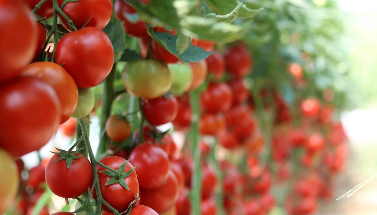 Tuta tomate plaga