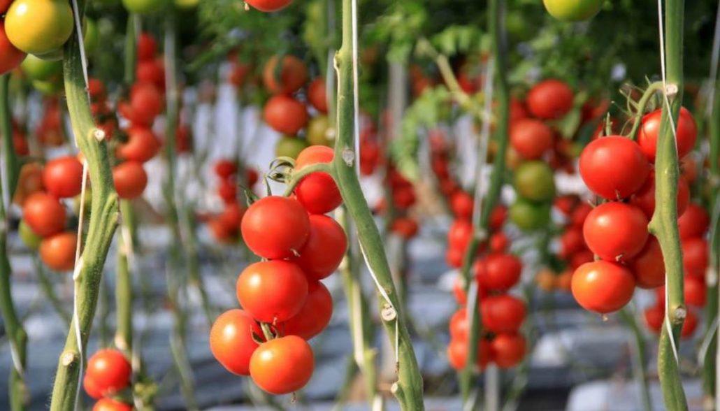 Cultivo tomate Almería