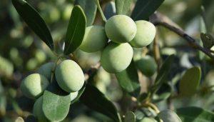 Tratamientos olivar
