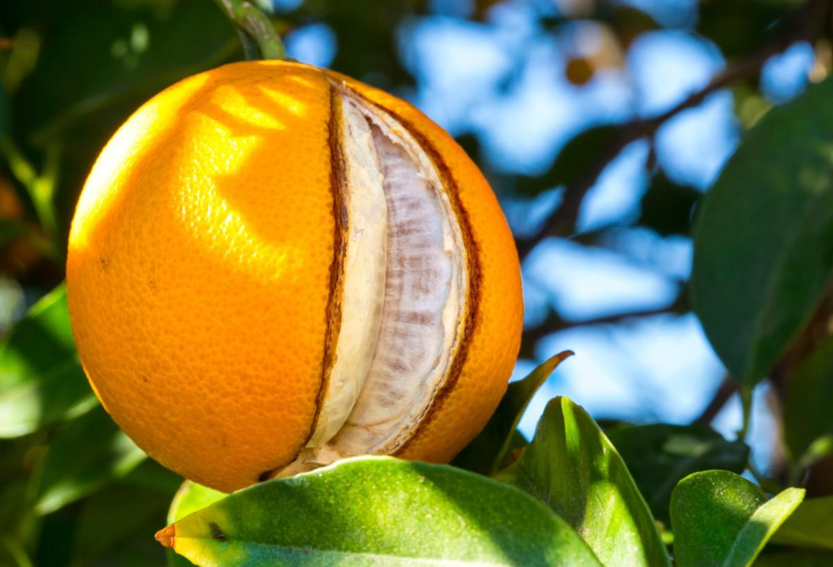naranja rajada